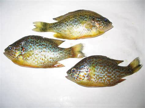 poissons de rivi 232 re