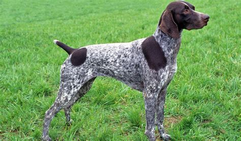 german shorthaired pointer dog breed information