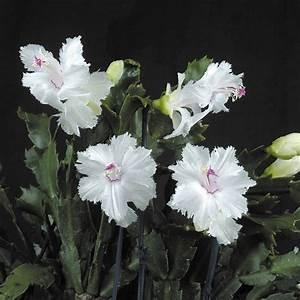 Schlumbergera Christmas Cactus Aspen  2 5 U0026quot  Pot  Logee U0026 39 S