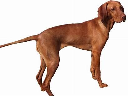 Dog Dogs Weimaraner Clipart Anjing Pet Animals