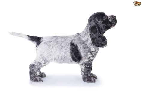 Cocker Spaniel Dog Breed Information, Buying Advice