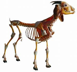 The Skeleton and Ligament of Goat - Dalian Hoffen Bio ...