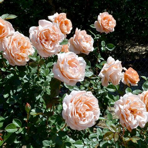 feeding roses get more blooms on roses with a monthly organic feeding espoma