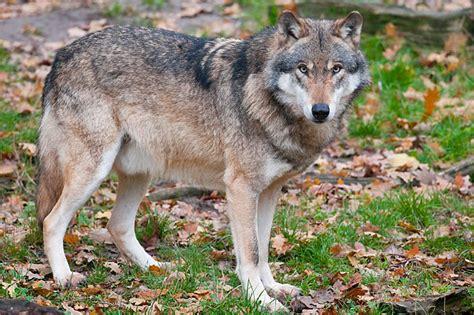 Wölfe In Sachsen