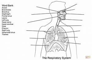 Respiratory System Diagram For Kids Worksheet