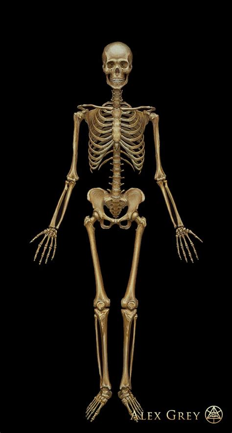 skeletal system alex grey