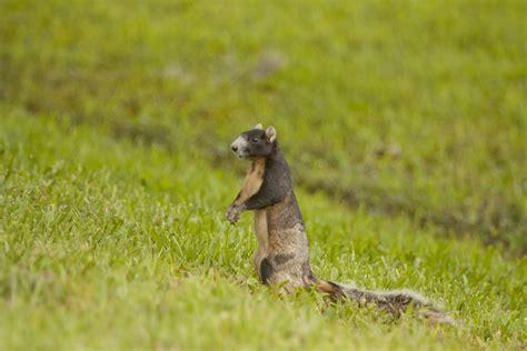 fox squirrel facts