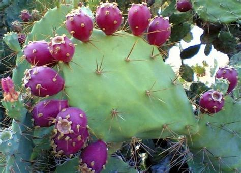 Indijska smokva-egzotična i ukusna « Herbanic Tinkture