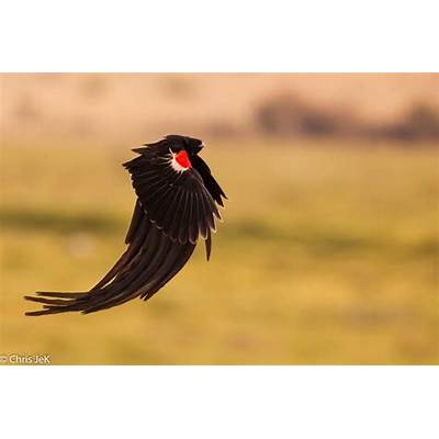 The lovely long-tailed widowbird - Africa Geographic