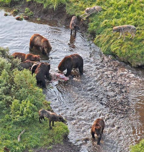 carcass stealing  grizzlies doesnt  wolves kill