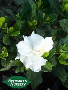Gardenia Jasminoides Pflege : gardenia jasminoides 39 veitchii 39 evergreen nursery ~ A.2002-acura-tl-radio.info Haus und Dekorationen
