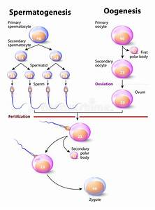 Spermatogenesis And Oogenesis Stock Vector