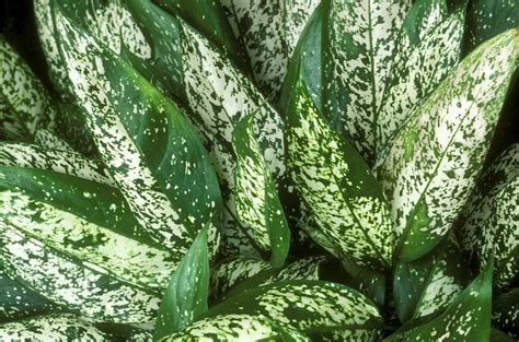 Small Kitchen Reno Ideas - aglaonema houseplants growing and care guide