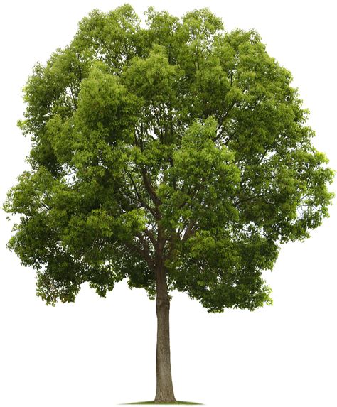 Tree Images No Background by Png Tree Images Small Leaf Trees Free