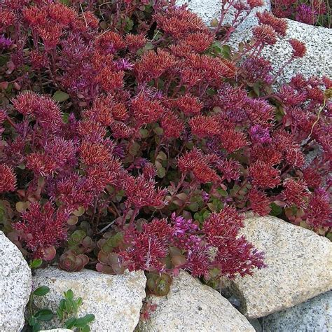 sedum with pink flowers 45 best images about sedum on pinterest white flowers pink flowers and red flowers