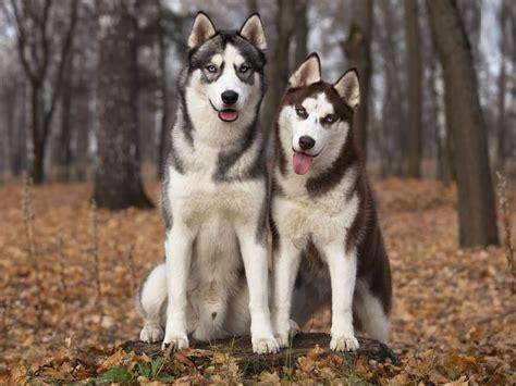 2048 Siberian Huskies