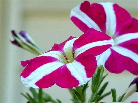 petunia flower information petunia flower information typesofflower com typesofflower com