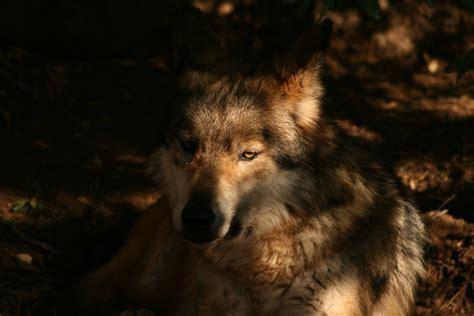 Alpha Wolf Wolf Wallpaper by Alpha Wolf Wallpaper