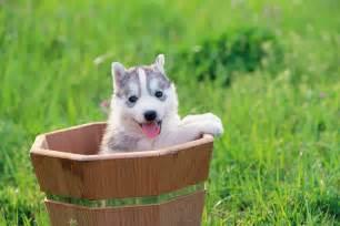 siberian husky puppies dogtime