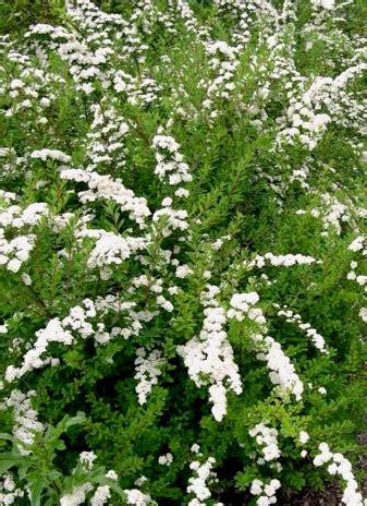 Spiraea nipponica 'White Carpet'
