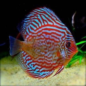 Super Red Turquoise Discus Fish   Arizona Aquatic Gardens