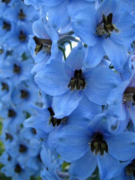 Blue Annuals? | ThriftyFun