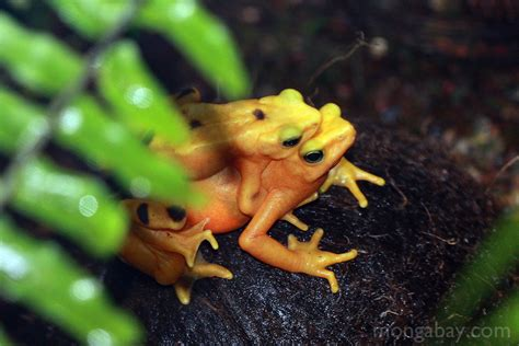 Rainforest frogs: Panama golden frogs mating at the Bronx Zoo