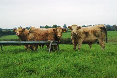 weanlings healthy keep season mccarthy westmeath charolais chris farm