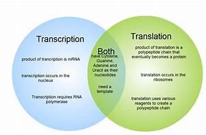 Dna And Rna Venn Diagram