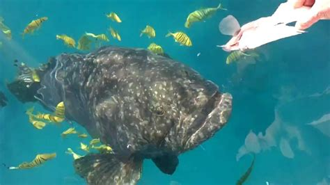 fish grouper queensland teeth weird stranger six even huge
