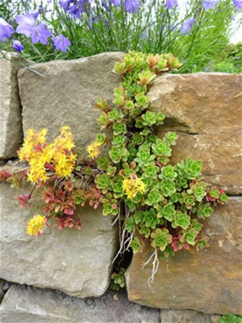 pflanzen für steinmauer trockenmauer selber bauen anlegen und bepflanzen bauanleitung