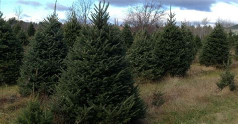 awesome picture of christmas trees natick nails co natick