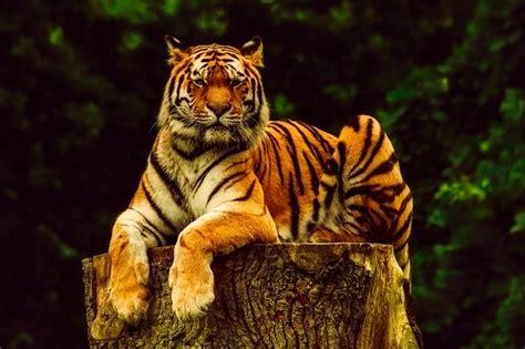 tiger animal wildlife  photo  pixabay