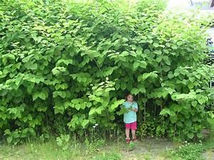 Schnell Wachsender Busch : japanischer staudenkn terich wikipedia ~ Lizthompson.info Haus und Dekorationen