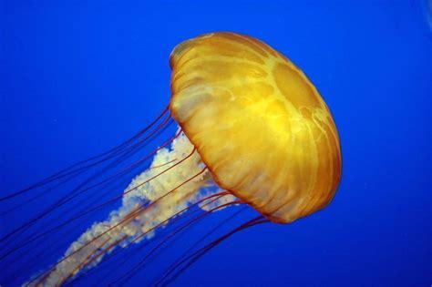 Descubren que las medusas se mueven succionando el agua