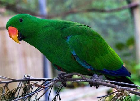 pet parrot eclectus parrots as pets