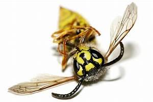 Welchen Geruch Mögen Wespen Nicht : umgang mit wespen und hornissen kein grund zur panik nabu ~ Articles-book.com Haus und Dekorationen