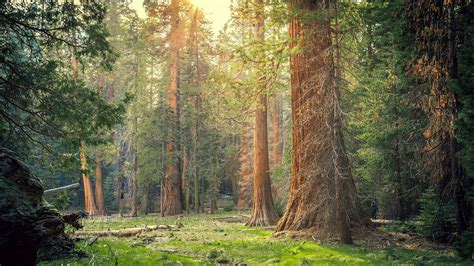 wallpaper sequoia national park forest trees sun rays
