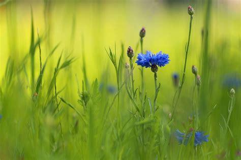 kornblumen  strassenrand forum fuer naturfotografen