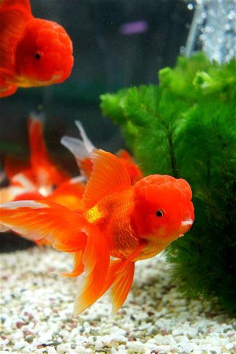images  agua dulce  pinterest cichlids
