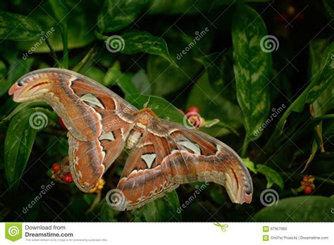 Beautiful Big Butterfly, Giant Atlas Moth,aka, Attacus