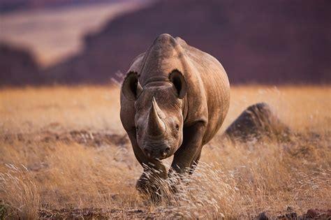 rhino hunt permit auction sets  conservation debate