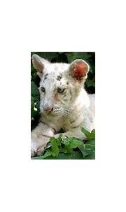 Very rare white Bengal tiger born in Alicante