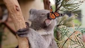 Watch A Butterfly Photobomb A Koala Shoot NBC News