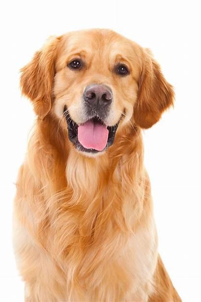 Retriever Golden Arts Transparent Puppy Clipart Pngio