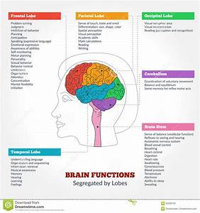 Human Brain Anatomy Cartoon Vector