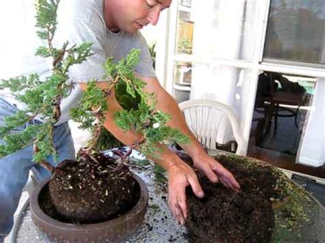 create  bonsai tree   nursery juniper part