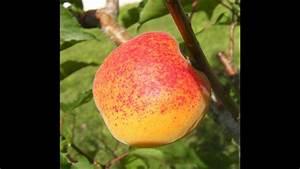 Taille De L Abricotier : la taille facile de l 39 abricotier arbre fruitier tr s sensible youtube ~ Dode.kayakingforconservation.com Idées de Décoration