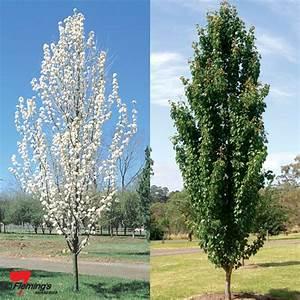 """Ornamental Pear """"Capital"""" - Perth, WA - Online Garden Centre"""