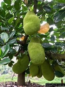 Grafted Jackfruit the Brinsmead Special - Artocarpus ...